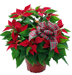 DFP256 Red Bushel Basket Poinsettia