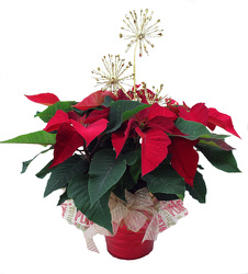 DFP262 Red tin Container with Poinsettia Plant