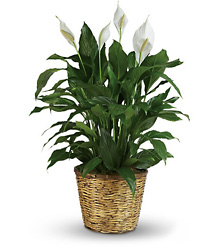 T105-3A Simply Elegant Spathiphyllum - Large